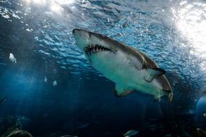 Shark swimming in tank